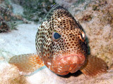 Coral Grouper Being Cleaned 7