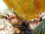 Pederson Cleaner Shrimp 1