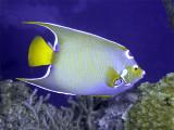 Queen Angelfish From Side