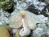Octopus at Eel Garden 6