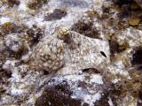 Octopus at Eel Garden 8
