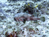 Porcupine Fish and Wrasse