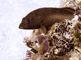 Small Coral Grouper Resting 2