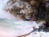 Pederson Cleaner Shrimp  Hiding Pistol Shrimp