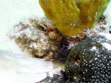 Pederson Cleaner Shrimp  Hiding Pistol Shrimp 3