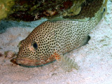 Resting Coral Grouper