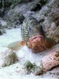 Resting Coral Grouper 2