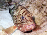 Resting Coral Grouper 3