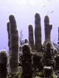 Soft Coral Fingers