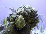 Striped Parrotfish Feeding on Hard Coral