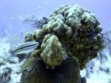 Striped Parrotfish Feeding on Hard Coral 2