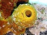 Two Cleaner Wrasse  Yellow Barrel Sponge