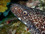 Spotted Moray Up Close 2