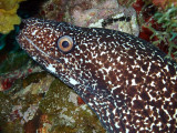 Spotted Moray Up Close 3