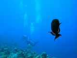 Black Surgeonfish With Divers in Background