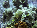 Cleaner Fish Around Hard Coral