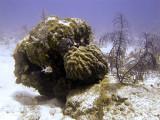 Coral Bombie  Squirrel Fish