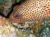 Coral Groupers Head