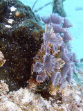 Feather Duster Worms  Sponge