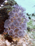 Feather Duster Worms  Sponge 2