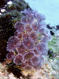 Feather Duster Worms  Sponge 3