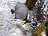 Gray Angelfish 2