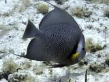 Gray Angelfish 3