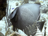 Gray Angelfish 4