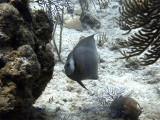 Gray Angelfish 5