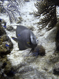 Gray Angelfish and Blue Chromis