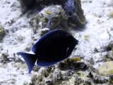 Posing Surgeon Fish