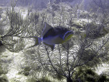 Queen Triggerfish Against Coral Trees