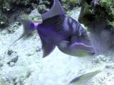 Queen Triggerfish Feeding