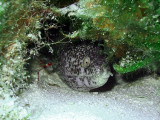 Spotted Moray Being Cleaned by a Cleaner Shrimp 4
