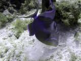 Queen Triggerfish Feeding 2