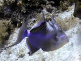 Queen Triggerfish Feeding 3