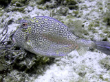 Smooth Trunkfish 2