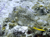 Smooth Trunkfish 3