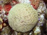 Ball of Coral With Blue Chromis