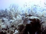 Blue Chromis Swimming Down