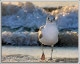 Gull_D2X_2713.jpg