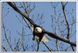 Eagle_D2X_4455.jpg