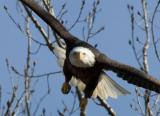 Eagle_unsharp_D2X_4455.jpg