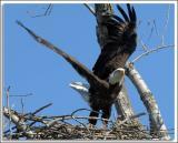 Eagle_D2X_4690.jpg