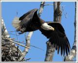 Eagle_D2X_4694.jpg