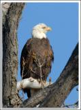 Eagle_D2x_4683.jpg