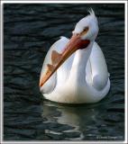 Pelican_D2x4852.jpg
