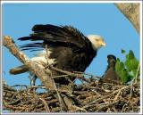 Eagle_D2X_5565.jpg