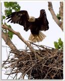 Eagle_D2X_5572.jpg