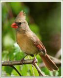 Cardinal_D2X_5863.jpg